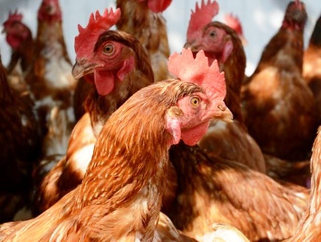 Hühnerställe aus Echtholz