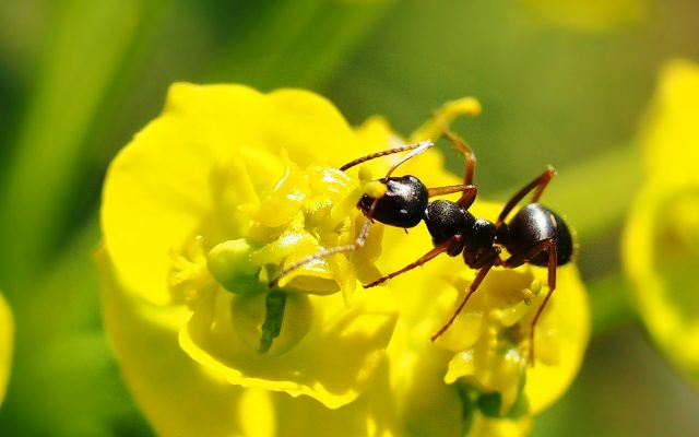 Ameisen – zwischen Nützling und Plage